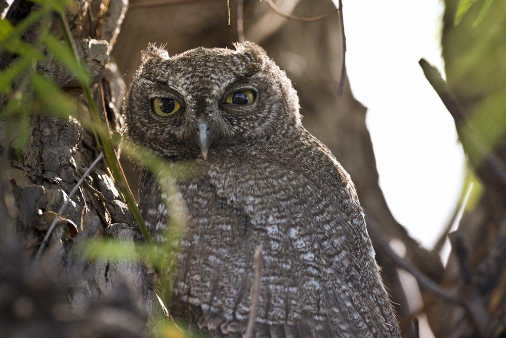 Adult Western Screech Owl