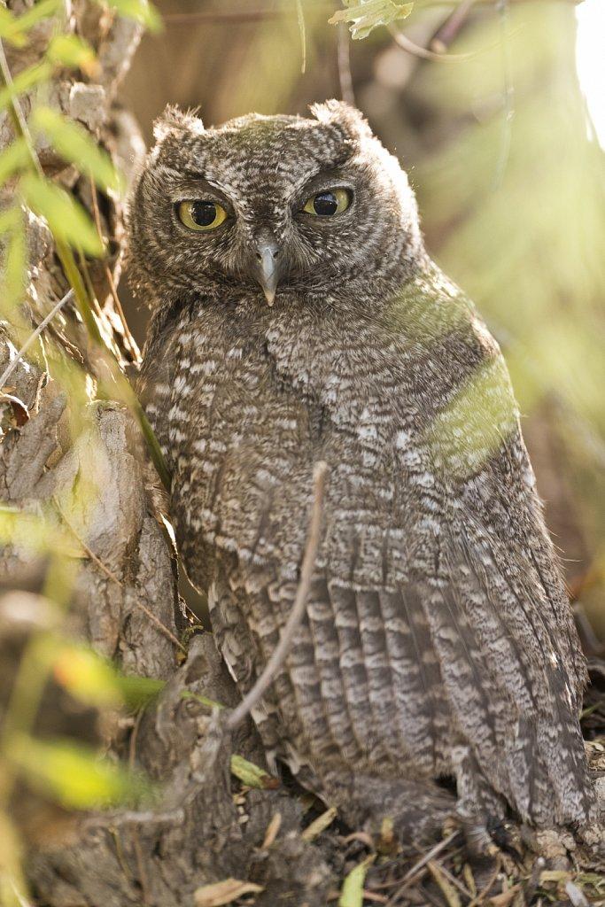 Mature Western Screech Owl