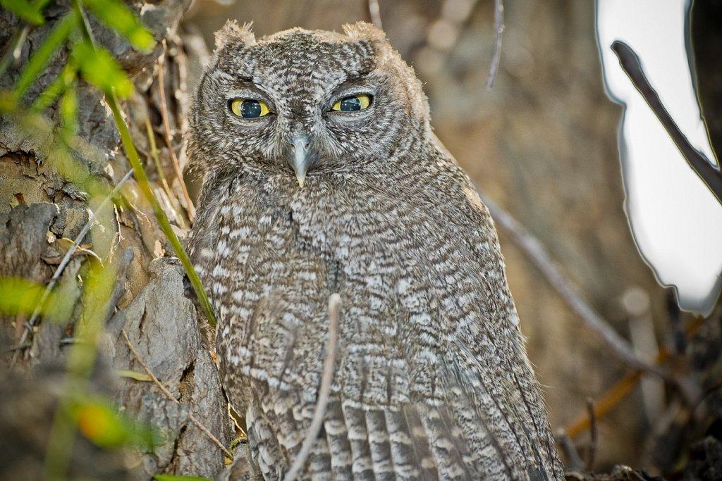 Backlit Western Screech Owl