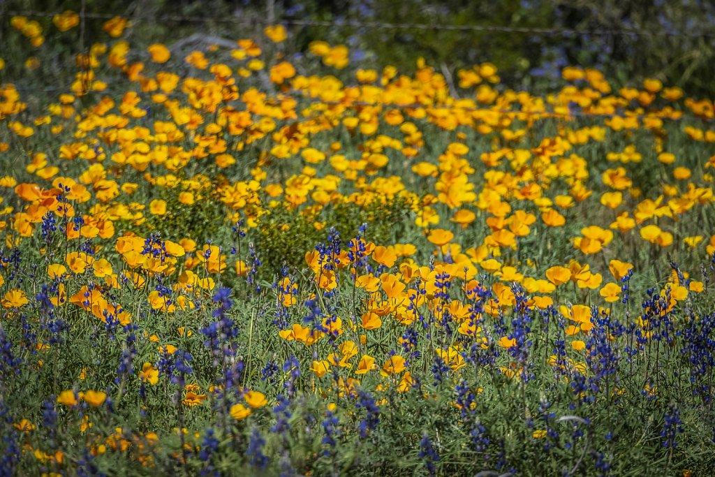 PicachoPeak-wildflowers-0319-042.jpg